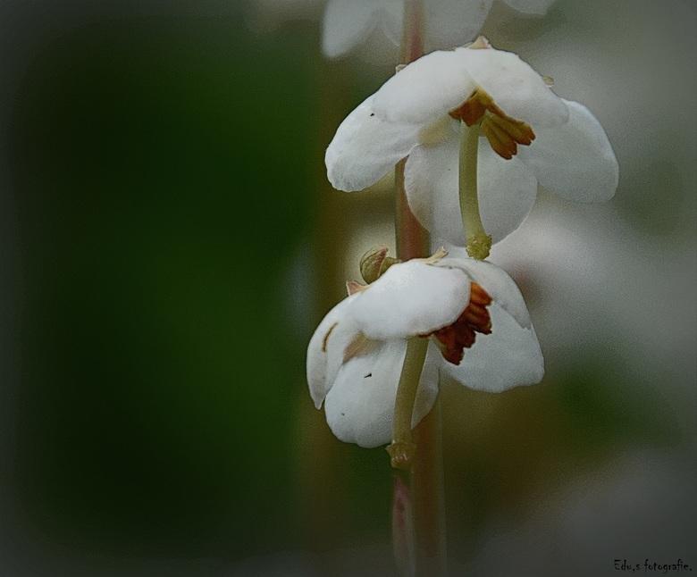 Wintergroen. - Een heel zeldzaam plantje.<br /> in Drenthe ergens in de berm.