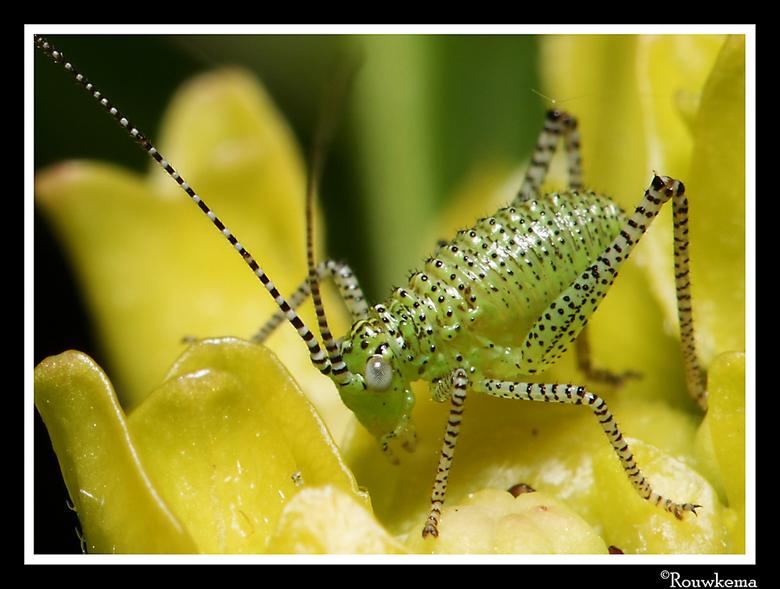 Haantje - Een erg klein sprinkhaantje op de hortensia. Welke vinden jullie beter overkomen; deze crop of het ruimere overzicht?
