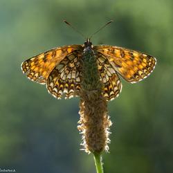 Woudparelmoervlinder