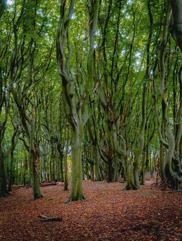 Swingende bomen - Deze prachtige swingende bomen fotografeerde ik in het Mildenburgbos in Oostvoorne. En wat fijn, die herfstkleuren!