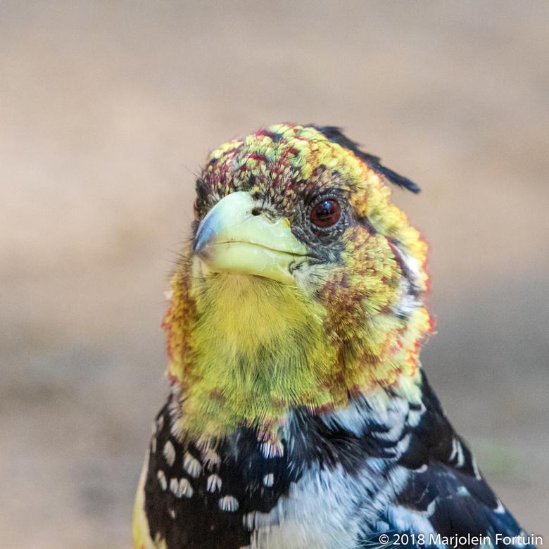 Kuifbaardvogel, zuid-Afrika - Een bijzonder klein vogeltje. Ze zijn bijna altijd met zijn tweeën. Deze heb ik gezien in Mapungubwe, zuid-Afrika op de