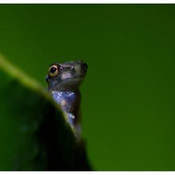 Jong Roodoogkikkertje, Costa Rica