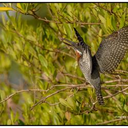 Afrikaanse reuzenijsvogel