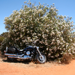 Motorcycle in front of a desert tree with white flowers