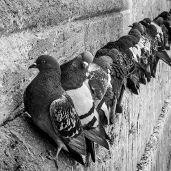 Pigeons at the edge