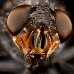 Blauwe bromvlieg - Calliphora vomitoria
