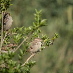 Mussen (Passeridae) in liguster