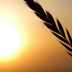 Wuivend in de wind bij ondergaande zon...
