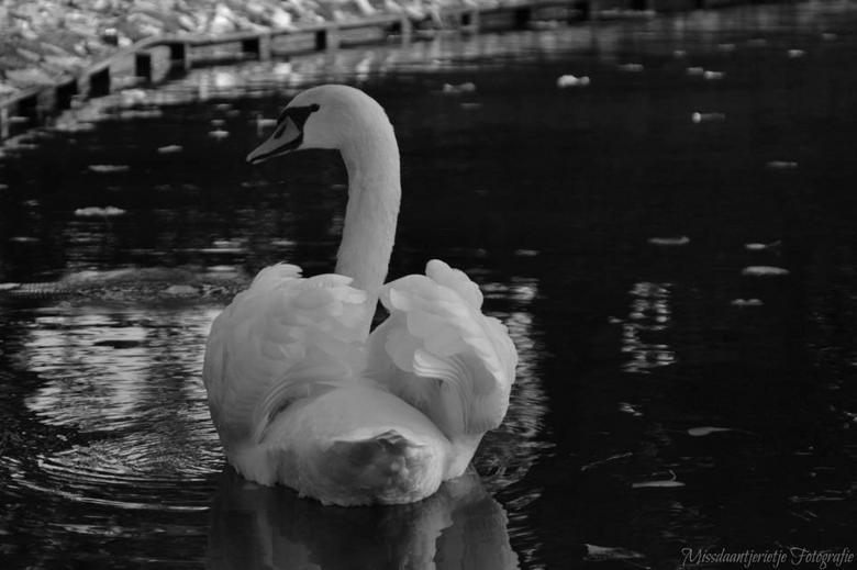 Beautiful white swan - Witte zwaan op een prachtige herfstdag.