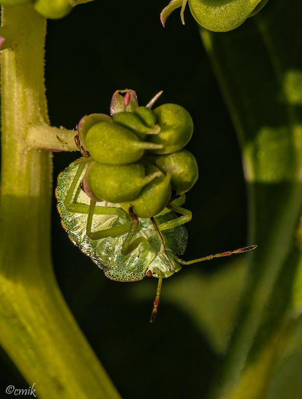 Groene Schildwants nimf - Dit is de nimf in zomerkleur. Grootte tussen de 12 en 14 mm. Zuigt het sap uit de vruchtjes van de Oosterse karmozijn bes za