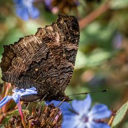 Dagpauwoog met gesloten vleugels (2)