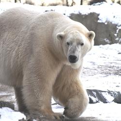 IJsberende ijsbeer