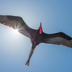 Fregat vogel in vlucht