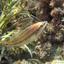 Pauwlipvis ( Symphodus tinca)