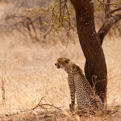 Cheetah in Tarangire NP