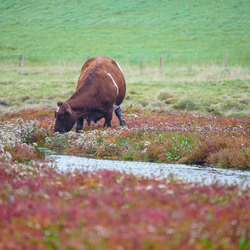 Culinaire koe gaat voor zeekraal