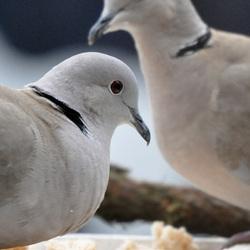 etende duiven