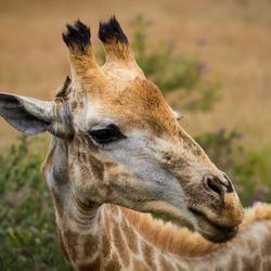 Hongerige Giraffe