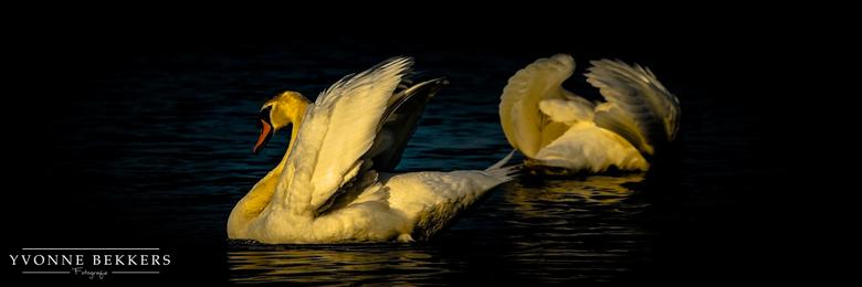 """Zwanen in avondlicht - Nog een foto uit mijn reeks """"zwanen""""."""