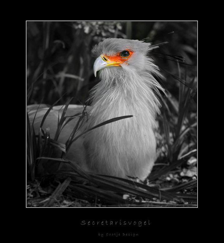 Secretaris Vogel - Vond het wel een keer leuk om de prachtige kleuren van de Secretaris Vogel te benadrukken, en dan is het natuurlijk leuk om de rest