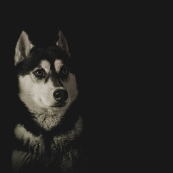 Mijn eigen husky meisje voor de lens genomen