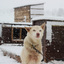 Sleehonden (huskies)