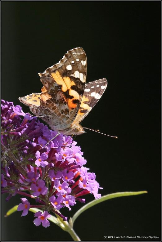 Distelvlinder - De distelvlinder is een wereldwijd voorkomende vlinder met een spanwijdte van ongeveer 6 centimeter. De eitjes worden afgezet op versc