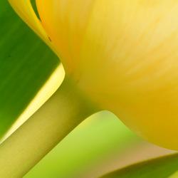 Tulip abstrakt