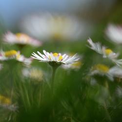 Madeliefjes in het gras