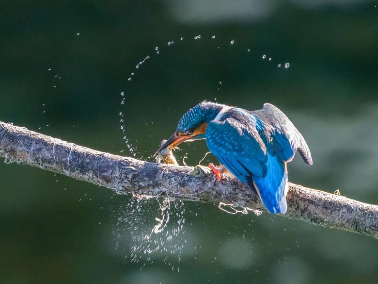 IJsvogel slaat kikker