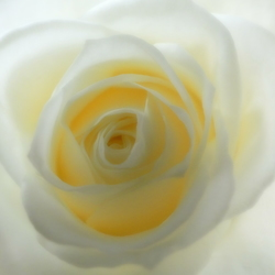 Flower of love