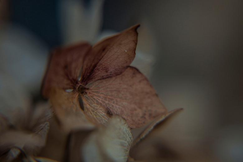 nog een beetje herfst - hortensia