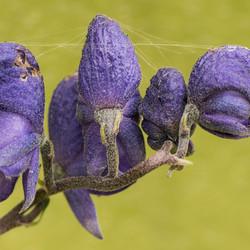 Hairy purple flowers