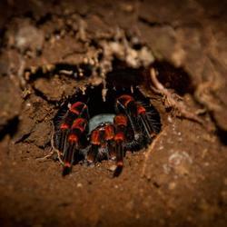 Tarantula bij nacht in Costa Rica
