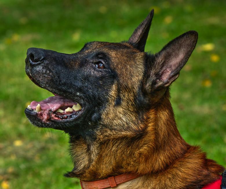 De Boss. - Een hond van mijn vriend genaamd Boss.