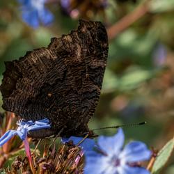 Dagpauwoog met gesloten vleugels