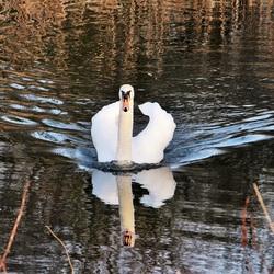 Witte Zwaan Park de Nieuweling Duiven