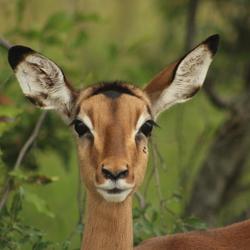 Springbok in het Kruger Park (Zuid-Afrika)