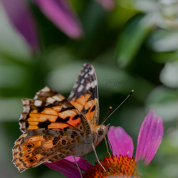 zoom # vlinder