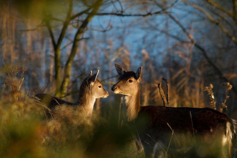 Damherten bij Vogelenzang - Ze staan lekker te grazen maar blijven oplettend!