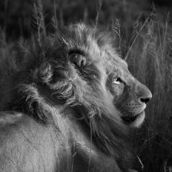 de leeuw en zijn prachtige manen