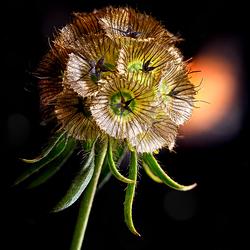Duifkruid (Scabiosa columbaria)1508