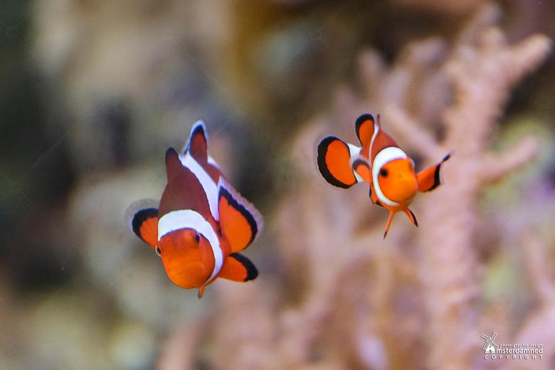 Driebandanemoonvis - De driebandanemoonvis (Amphiprion ocellaris) is een tropische zoutwatervis die voorkomt bij koraalriffen en boven zandgrond van 1