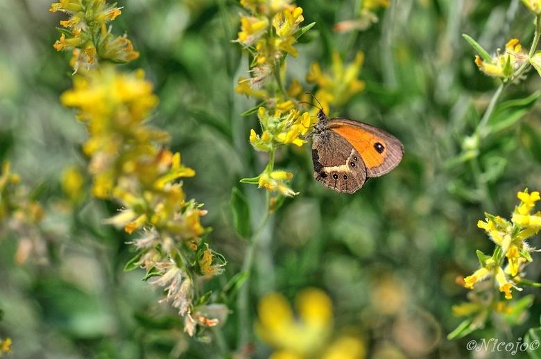 Spaans oranje zandoogje (Pyronia bathseba) - Het Spaans oranje zandoogje is makkelijk te determineren. De witte band over de onderkant van de achtervl