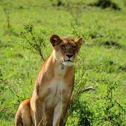Leeuwin in Kenia