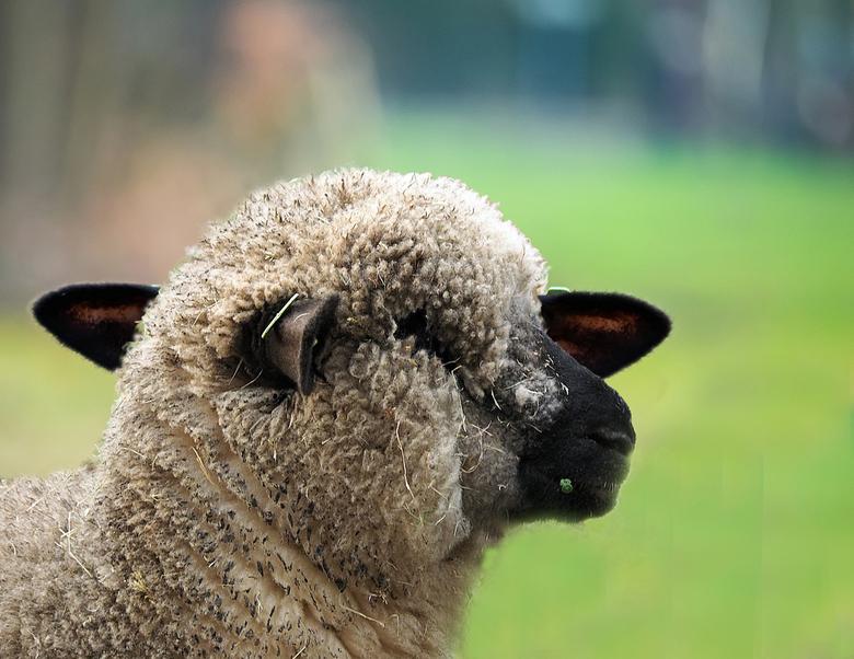 schaap met  4 oren  - Tja ik wist niet wat ik zag Nieuw schapenras met wel liefst  4 oren hier maar 3