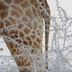 Giraf, maar dan de andere kant