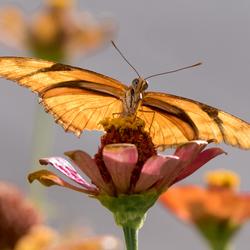 Vlinder Cuba