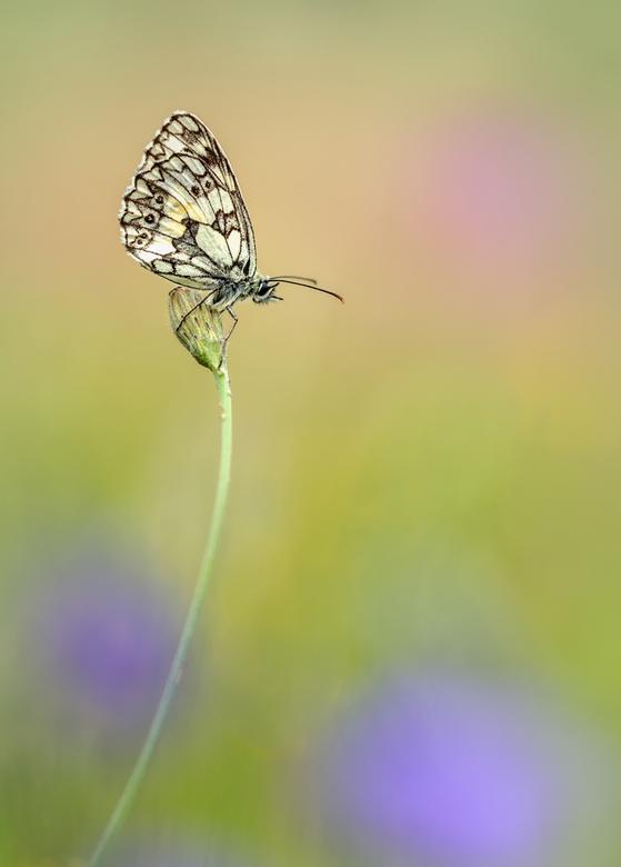 dambordje - in een bloemenveldje dit rustende vlindertje gespot..
