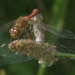 parende libelle
